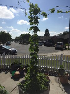 Growing hops in the front yard.