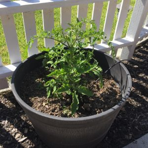 Grow Your Own Tomato